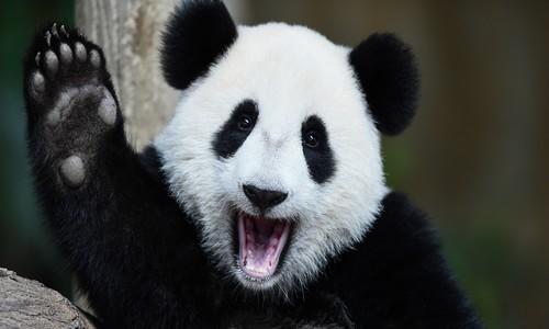 Parrainer un panda
