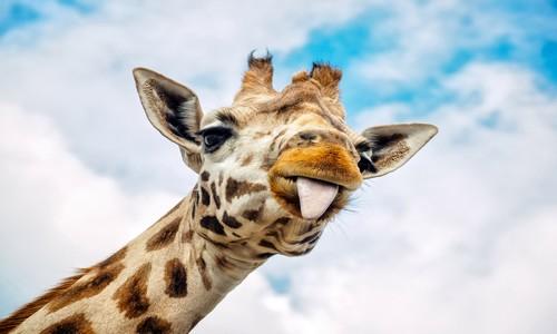Parrainer une girafe