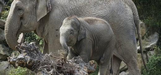 parrainer un éléphanteau