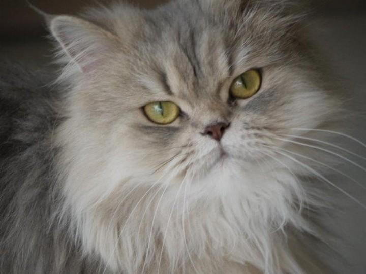toilettage des chats persans