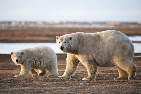 croisière en Arctique pour voir les ours